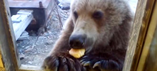 Un ours russe quémande à manger à la fenêtre