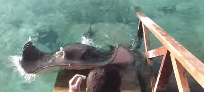Une raie demande à manger à un homme sur un ponton
