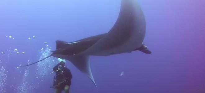 Une raie manta géante libérée d'un filet de pêche