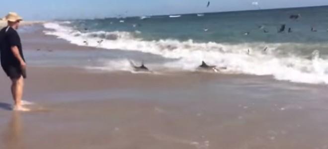 Une plage infestée de requins