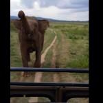 charge-elephant-savane-afrique-femme-hysterique