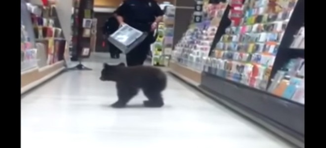 Un ourson se balade dans les rayons d'un supermarché