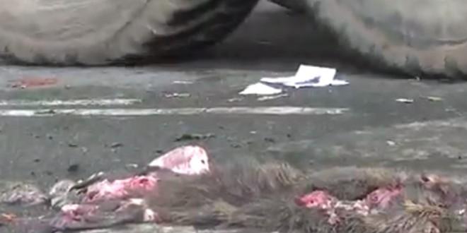 Des agriculteurs maltraitent des ragondins