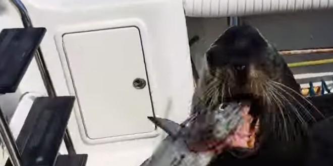 Un lion de mer rackette de pêcheurs