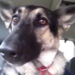 oreille-chien-danse