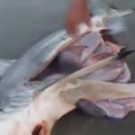 bebe-requin