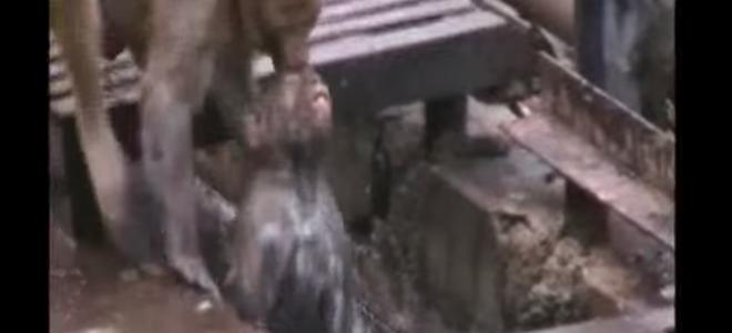 Un singe réanime un congénère électrisé