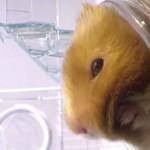 hamster-rayon-x