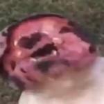 bulldog-souffleur-feuille-lol