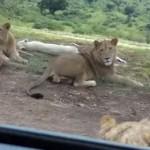 lion-ouvre-porte-safari
