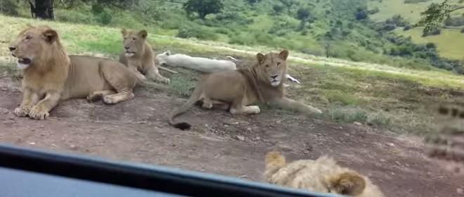 Un lion ouvre la portière d'une voiture