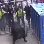 taureau-echappe