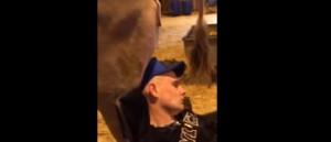 vache-caca-tete-ivre