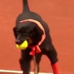 chien-remplacent-ramasseur-de-balle