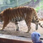 tigre-reveil-tigre
