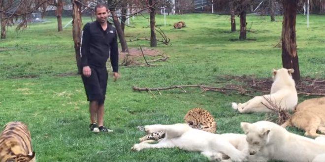 Un tigre empêche un léopard d'attaquer un homme