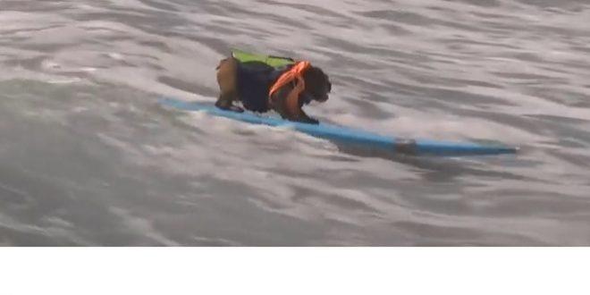 Un chien en excès de vitesse sur un surf !