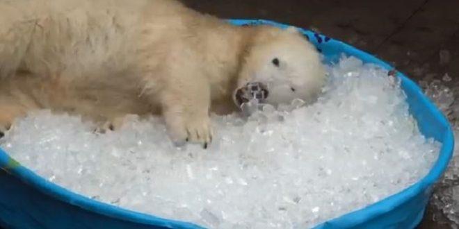 Un bébé ours prend un bain de glace !