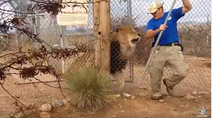 Étonnante réaction d'un soigneur de lions !