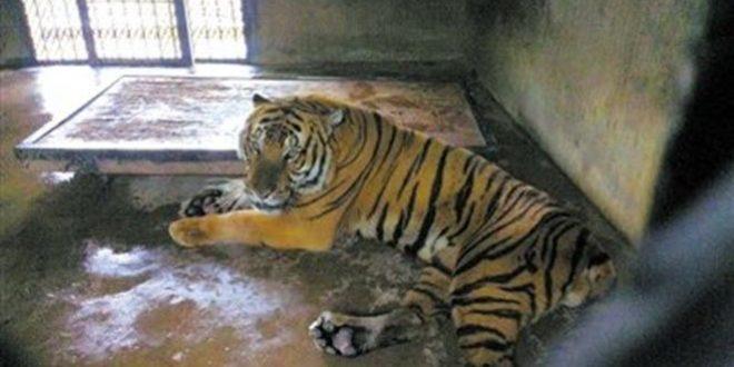 Sous les yeux de sa famille, cet homme se fait dévorer par un tigre ! (Vidéo)